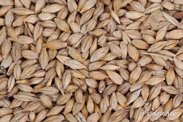 Barley Non GMO (Animal Feed)