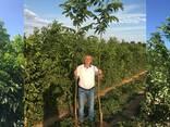 Chandler - Fernor Walnut Saplings (Tree) - фото 6