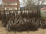 Chandler - Fernor Walnut Saplings (Tree) - фото 7